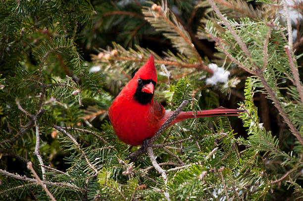 Red male cardinal sits on green pine branch