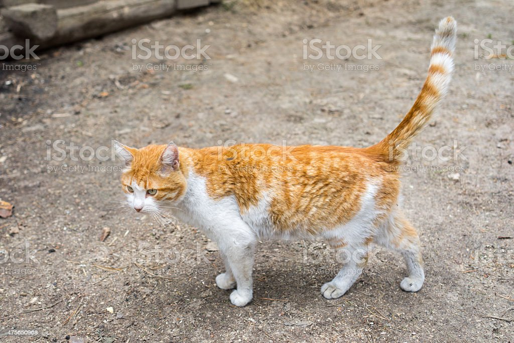 red male cat standing on the ground stock photo