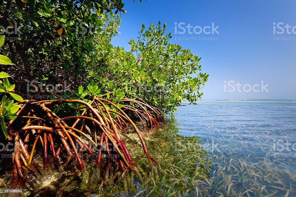 Red mangrove forest and shallow waters in a Tropical island stock photo