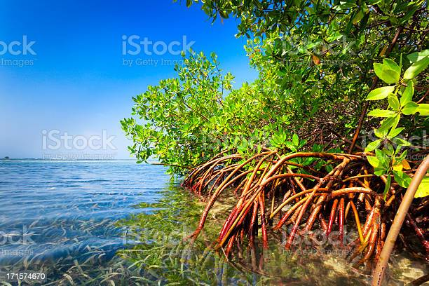 Red mangrove forest and shallow waters in a Tropical island.-