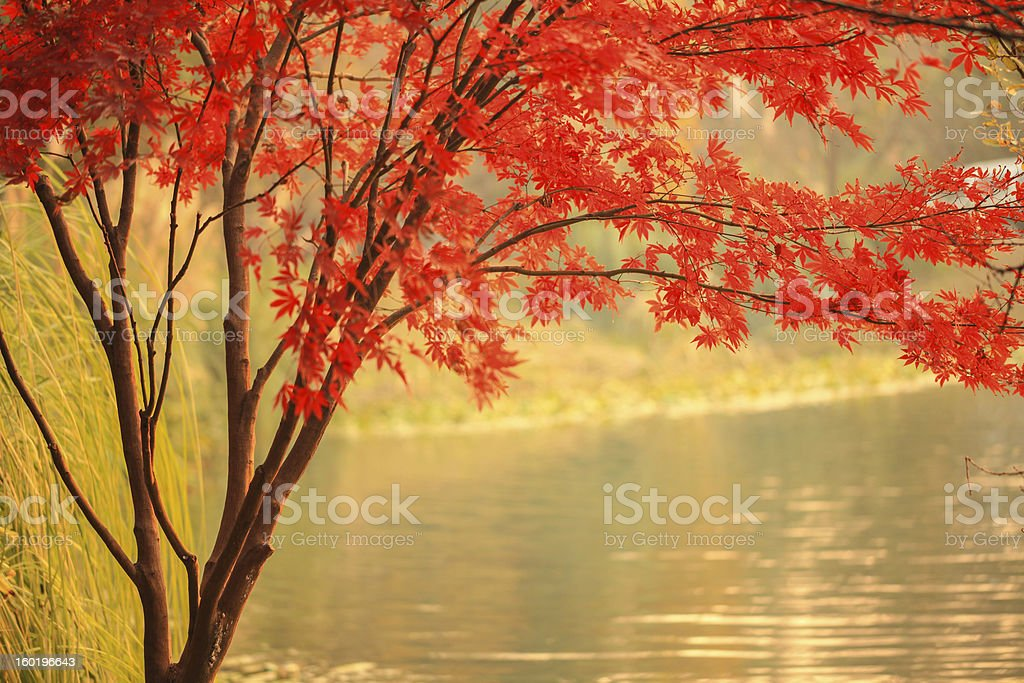 Red Maple besides river stock photo