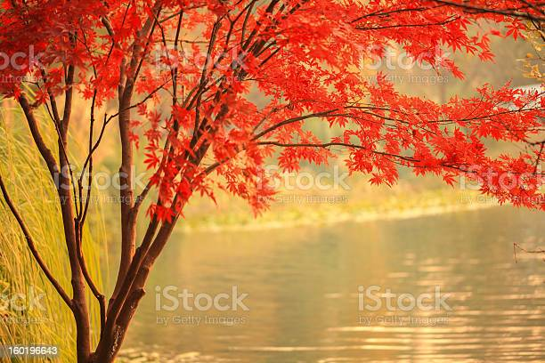 Red Maple Besides River Stock Photo - Download Image Now