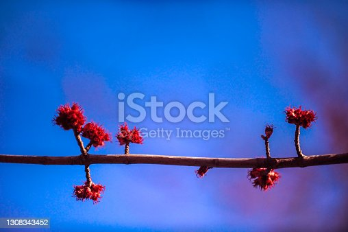 istock Red maple blooms 1308343452