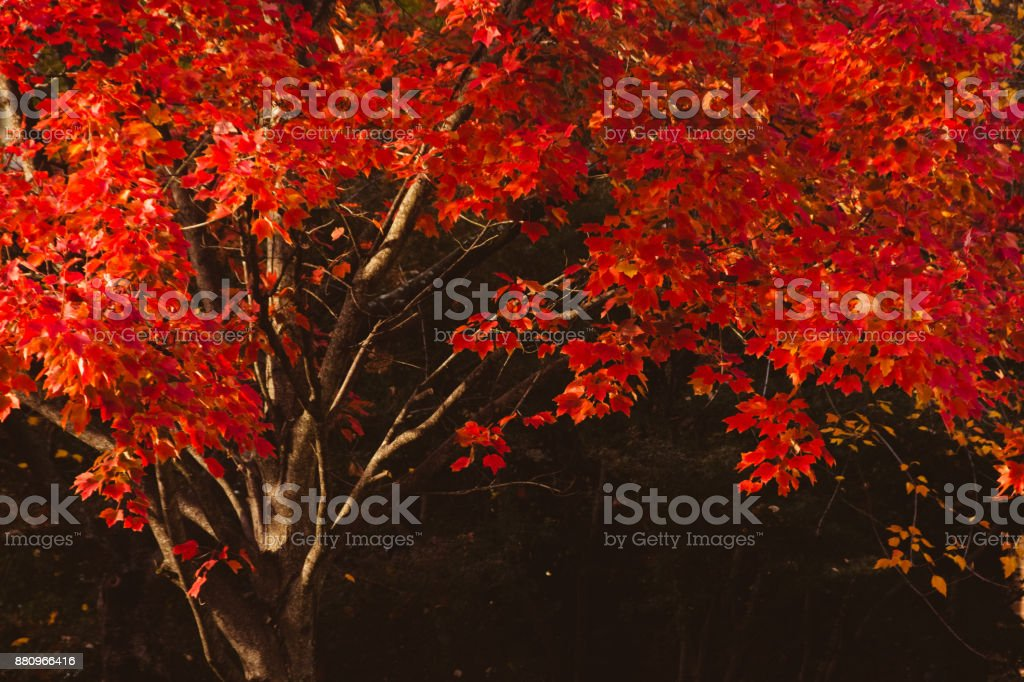 Red Maple Canopy in Morning Light stock photo