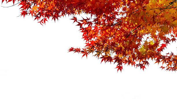 Red maple in autumn on white background. stock photo