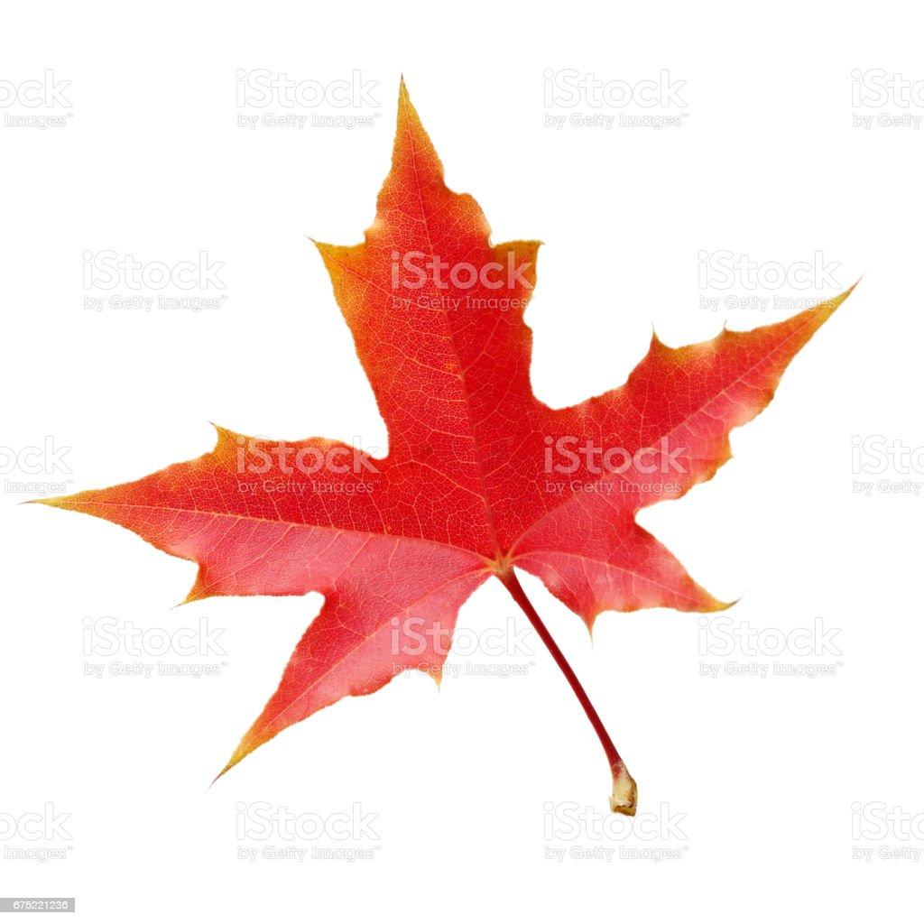 Red Maple  Isolated on White Background stock photo