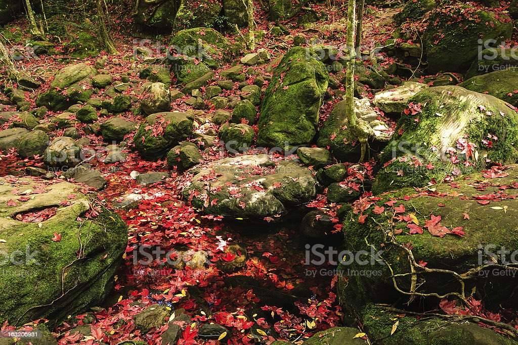 Red maple leaf during fall at Phukradung National Park royalty-free stock photo