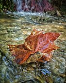 A red leaf in the river at autumn