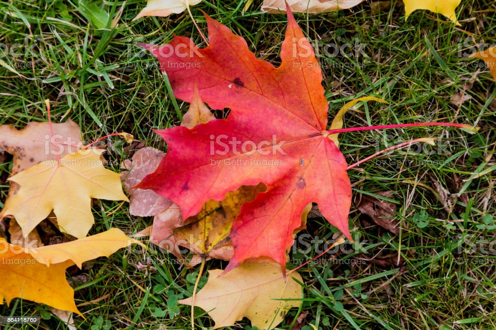 Red maple leaf on the grass royalty-free stock photo