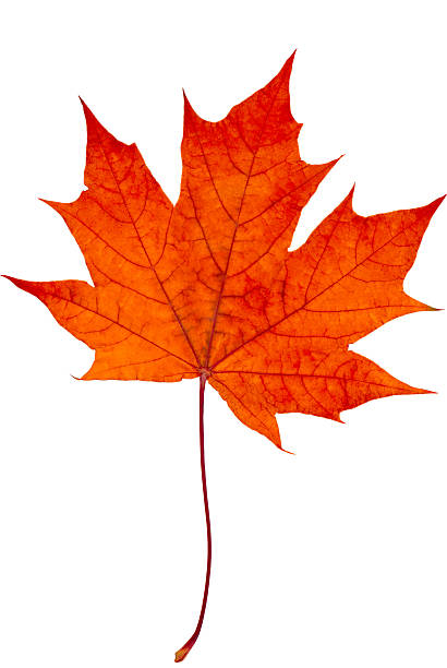 Maple Leaf Pathway Beautiful: Royalty Free Maple Leaves Pictures, Images And Stock