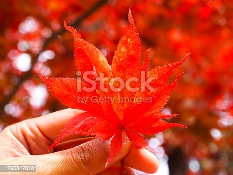 closeup red maple leaves in hand fingers holding with red tree leaves bokeh background