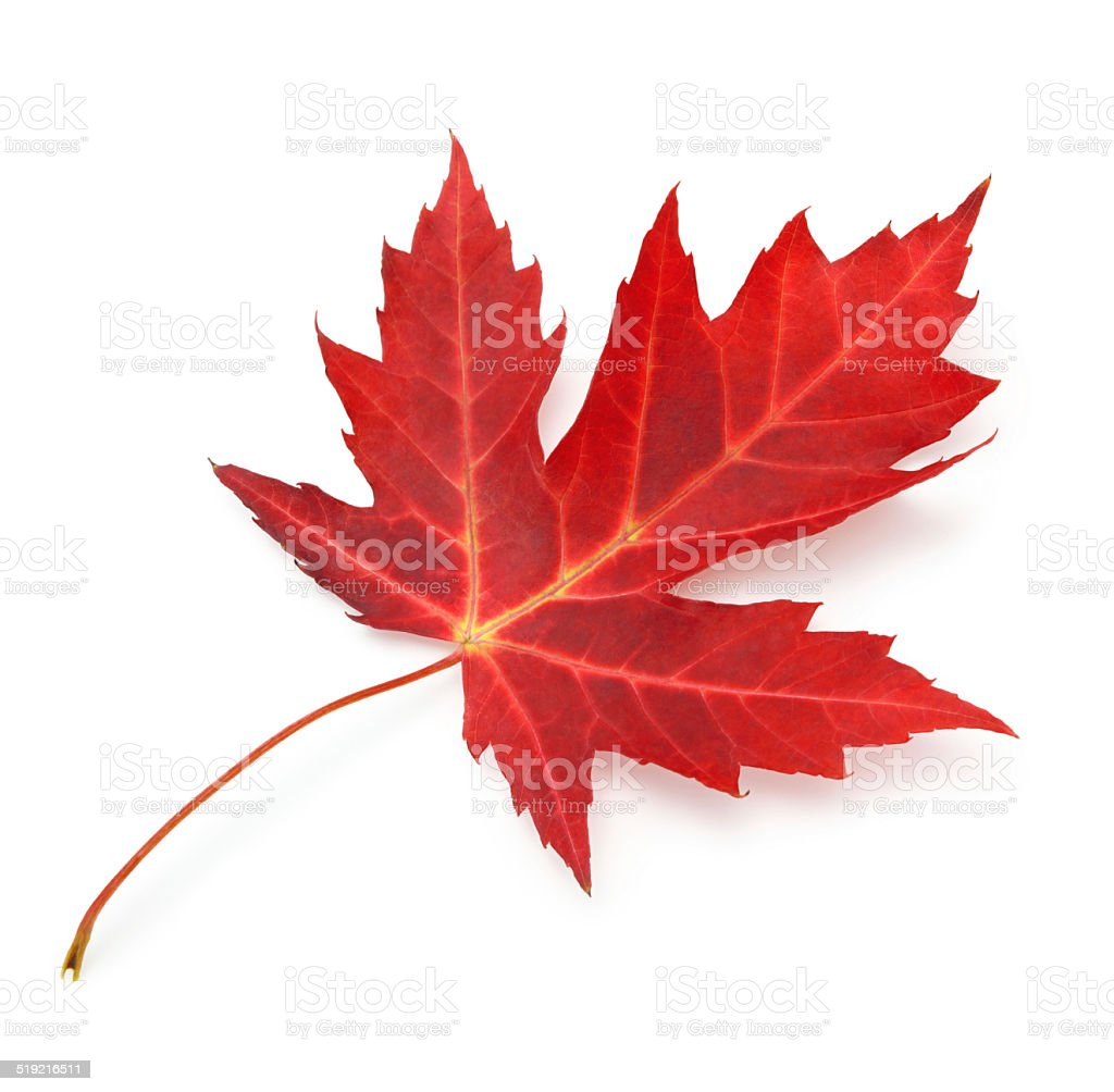 Red maple leaf with clipping path stock photo