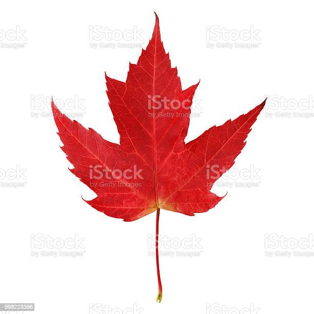 Photo of Red maple leaf