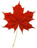 Red Maple Leaf XXXL