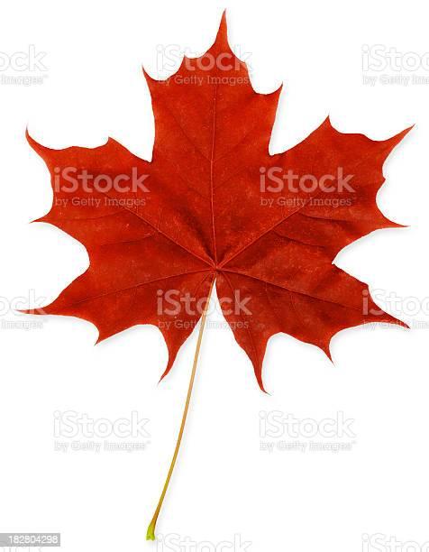 Photo of Red Maple Leaf XXXL