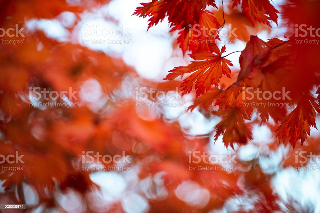 Red maple leafs stock photo