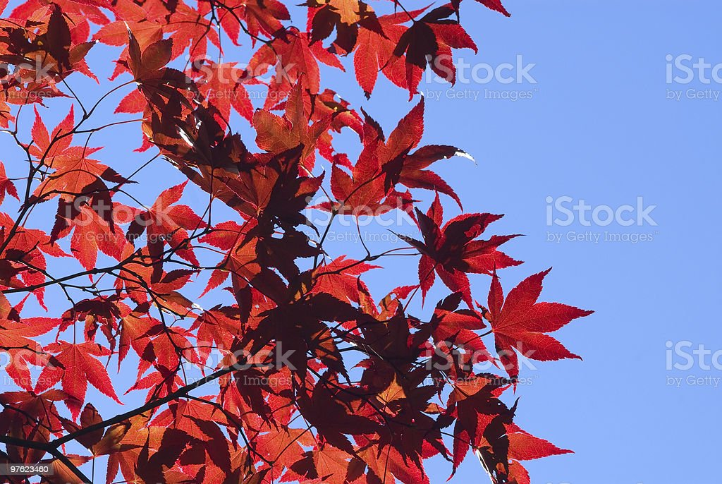 Red maple leaves against deep blue sky royalty-free stock photo