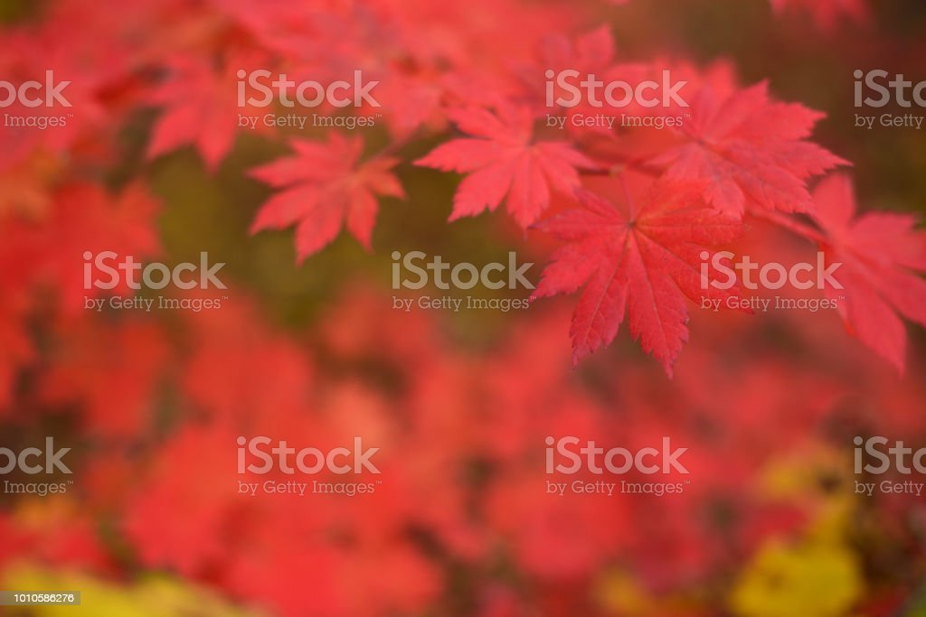 Red maple leaves at autumn forest, blurred background. Season...