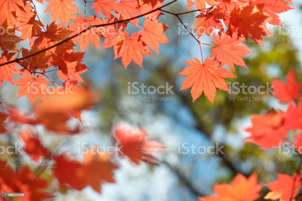 Red maple leaves border at autumn forest, blurred background. Season...