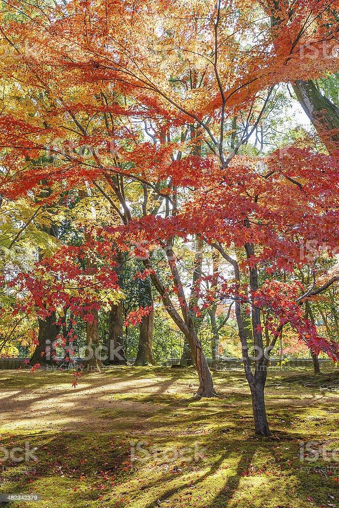 Acero rosso foglie in autunno - foto stock