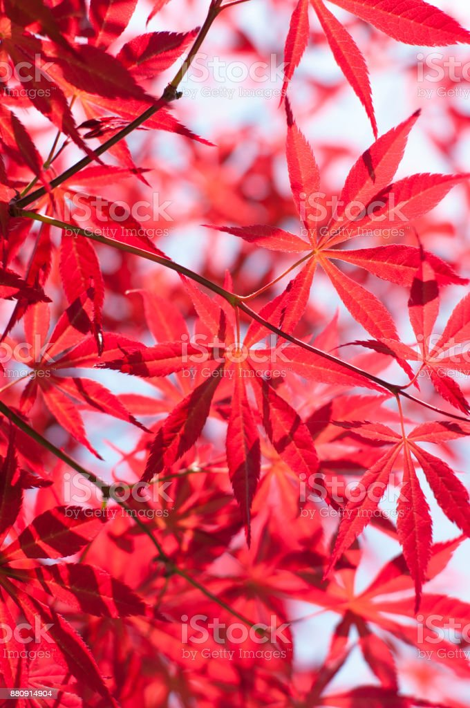 Red maple leaves in autumn stock photo