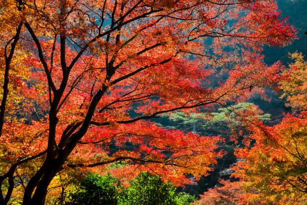 érable rouge feuilles en automne - feuillage automnal photos et images de collection