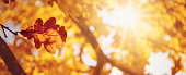 Red maple leaves in autumn with beautiful sunlight. Autumnal foliage with blurry background