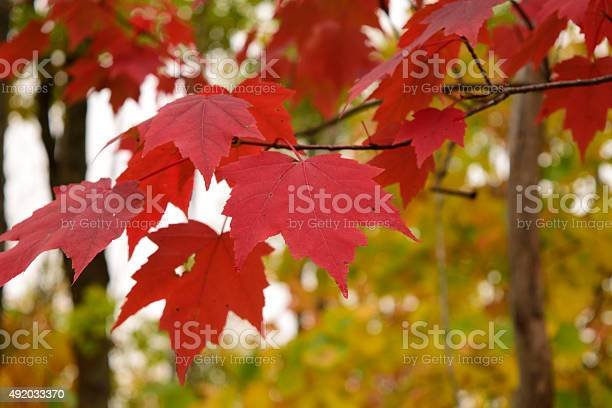 Photo of Red Maple (Acer rubrum) Leaves in Fall