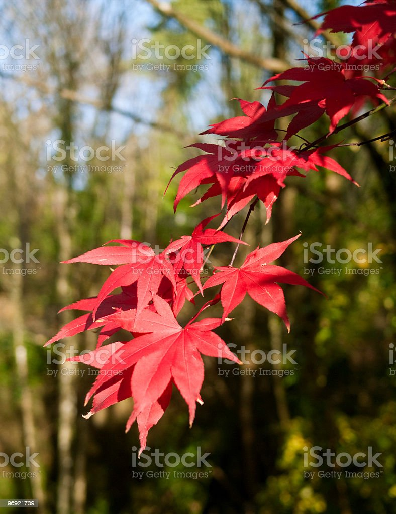 Red Maple Leaves in Fall royalty-free stock photo