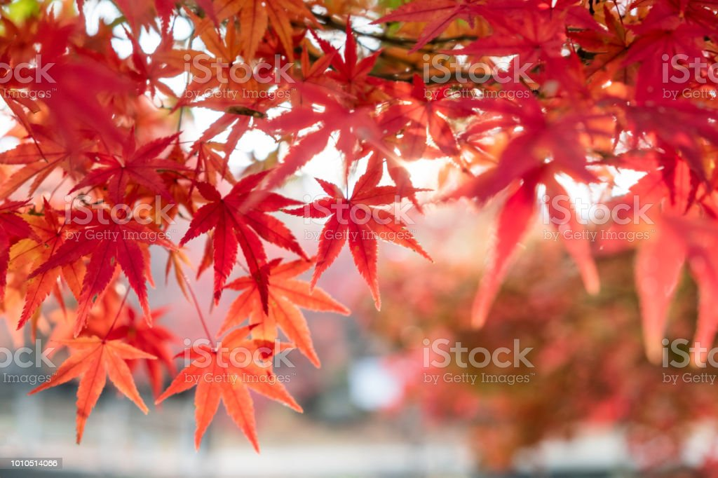 Red Maple leaves in garden with blurred sunlight background