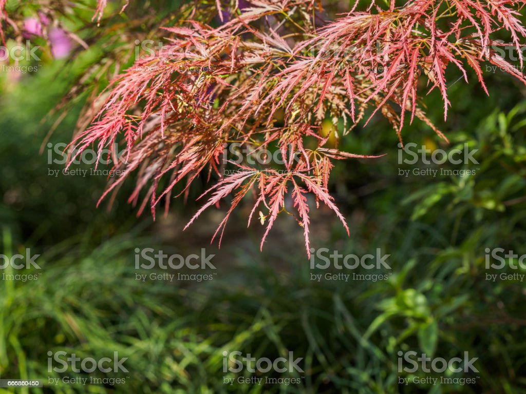 photo libre de droit de red maple leaves in spring banque