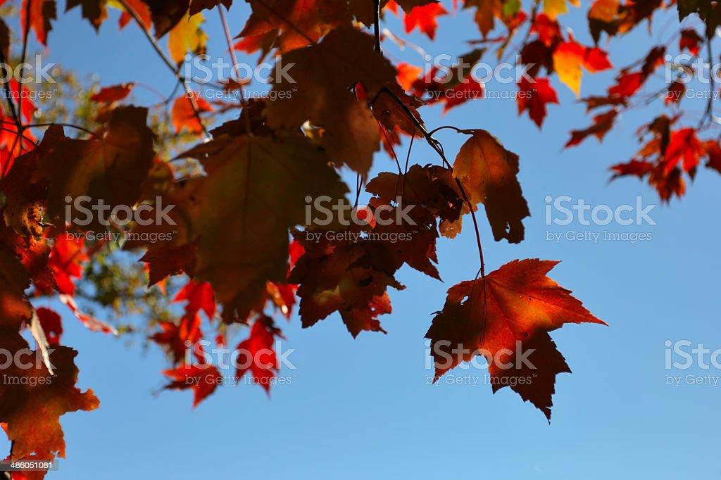 Rot-Ahorn Blätter auf blauer Himmel mit Sonne – Foto