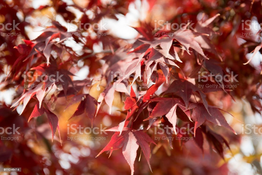 Red maple leaves of late autumn stock photo