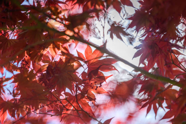 Red Maple leaves on a sunny day stock photo