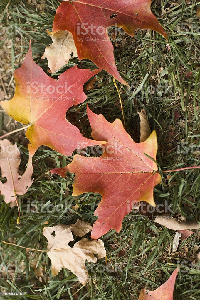 Red Maple Leaves on Grass in Autumn background stock photo