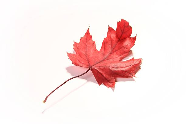 Red Maple Image of a nicely colored red maple tree leaf isolated on white. autumn leaf color stock pictures, royalty-free photos & images