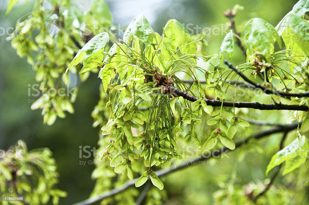Red maple samaras in spring royalty-free stock photo