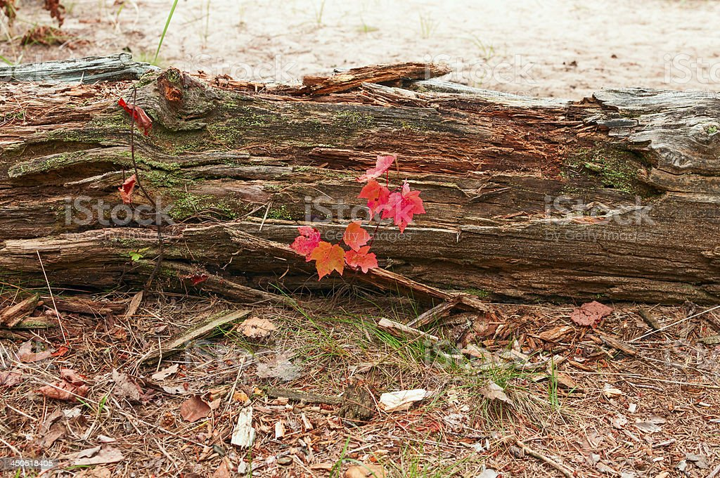 Red maple seedling growing beside a dead log royalty-free stock photo