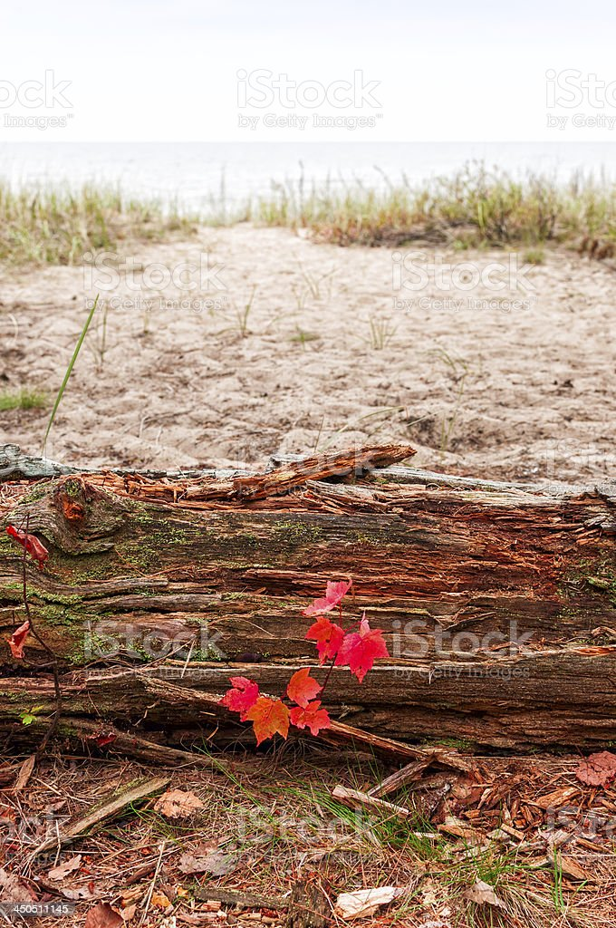 Red maple seedling on the beach path royalty-free stock photo