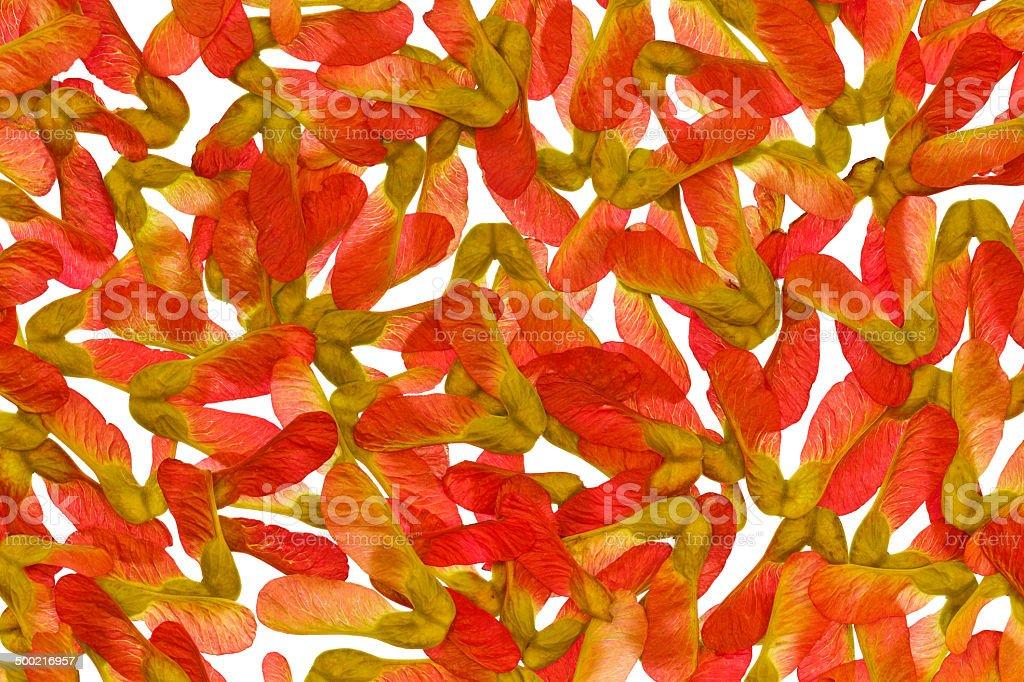 Клён красный семена изолированные на белом фоне стоковое фото