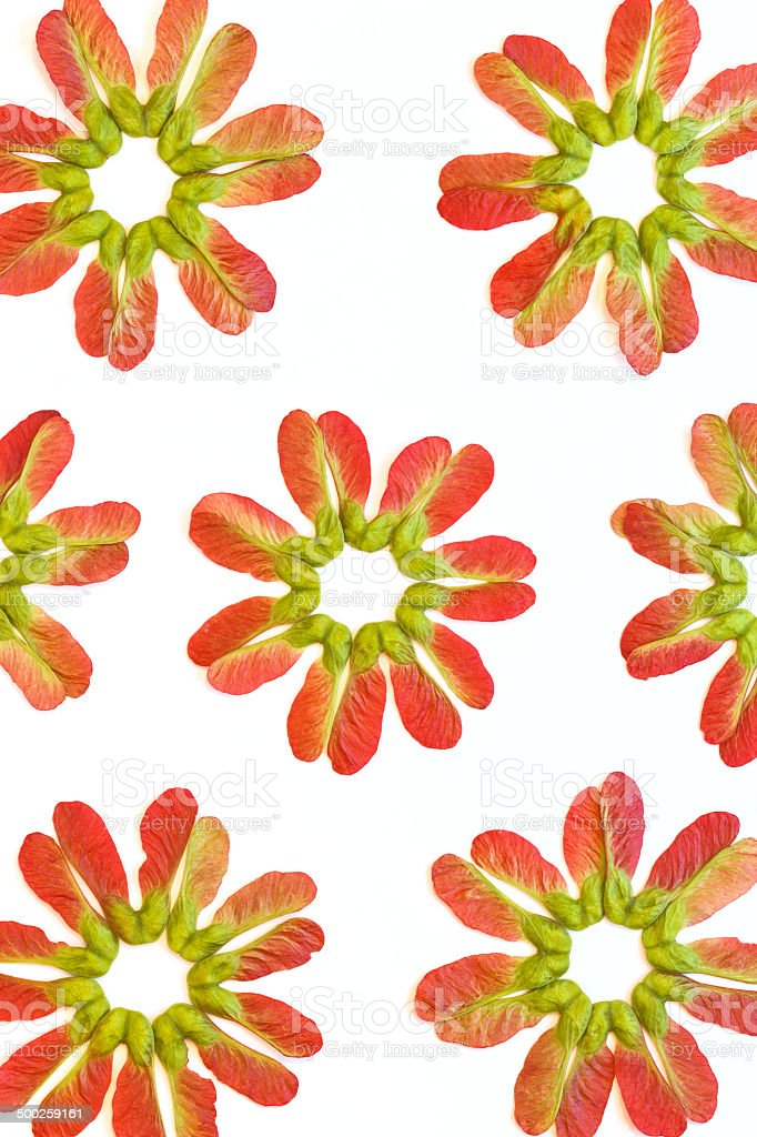 Red maple seeds isolated on white background royalty-free stock photo