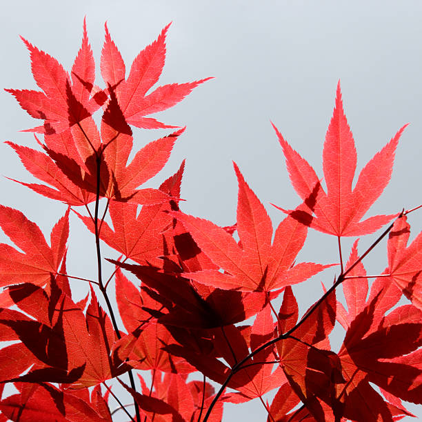 red maple sky - foliate pattern stock photos and pictures