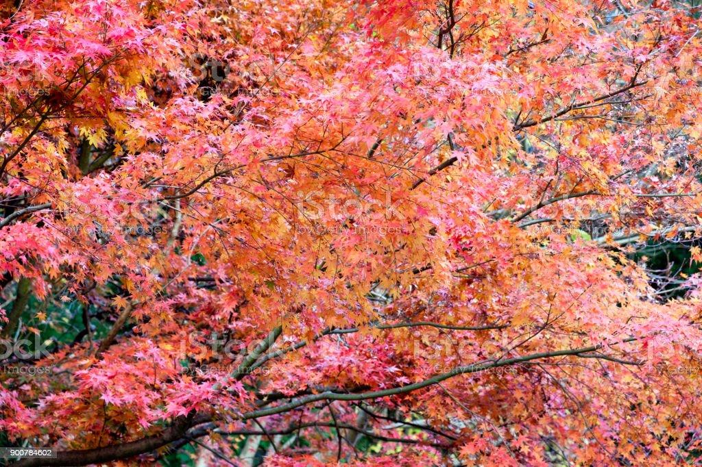 Red Maple tree in autumn garden stock photo
