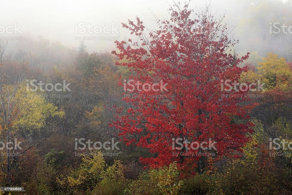 Red maple tree in Autumn royalty-free stock photo