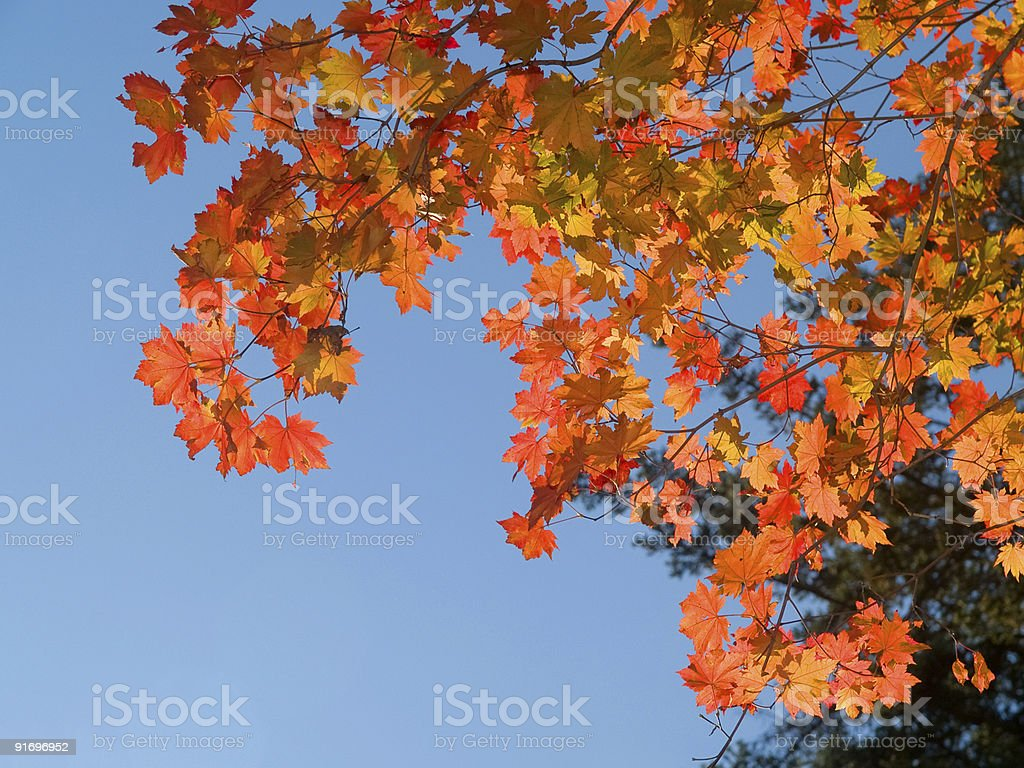 red maple tree leaves against blue sky royalty-free stock photo