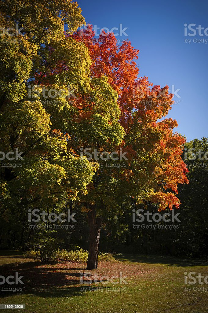 Red Maple tree under blue sky stock photo