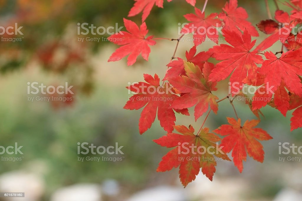Red maples on branch, Autumn leaves background. photo libre de droits