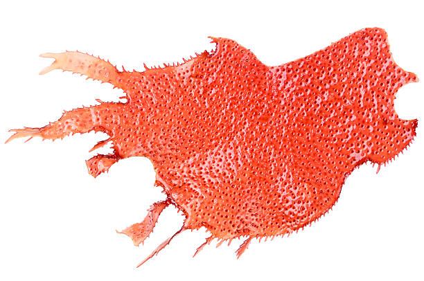 Red marine algae stock photo