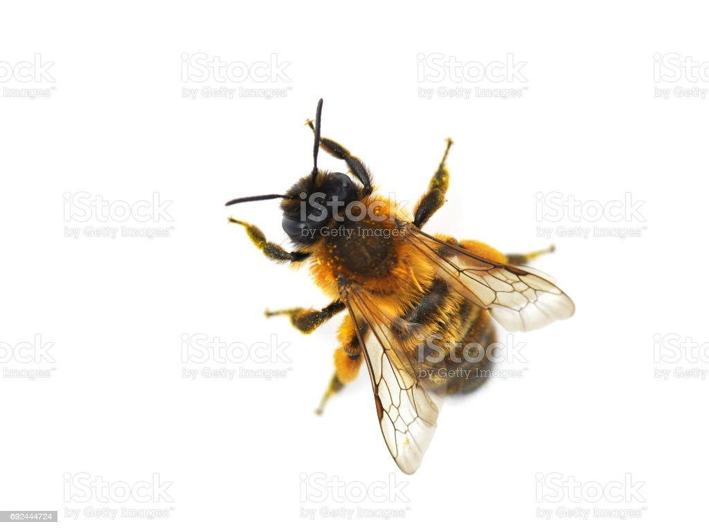Red Mason bee stock photo