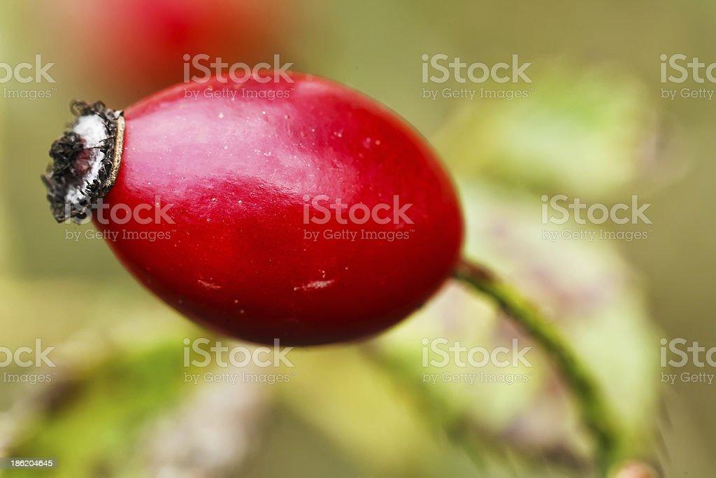 Red mature rosehip stock photo